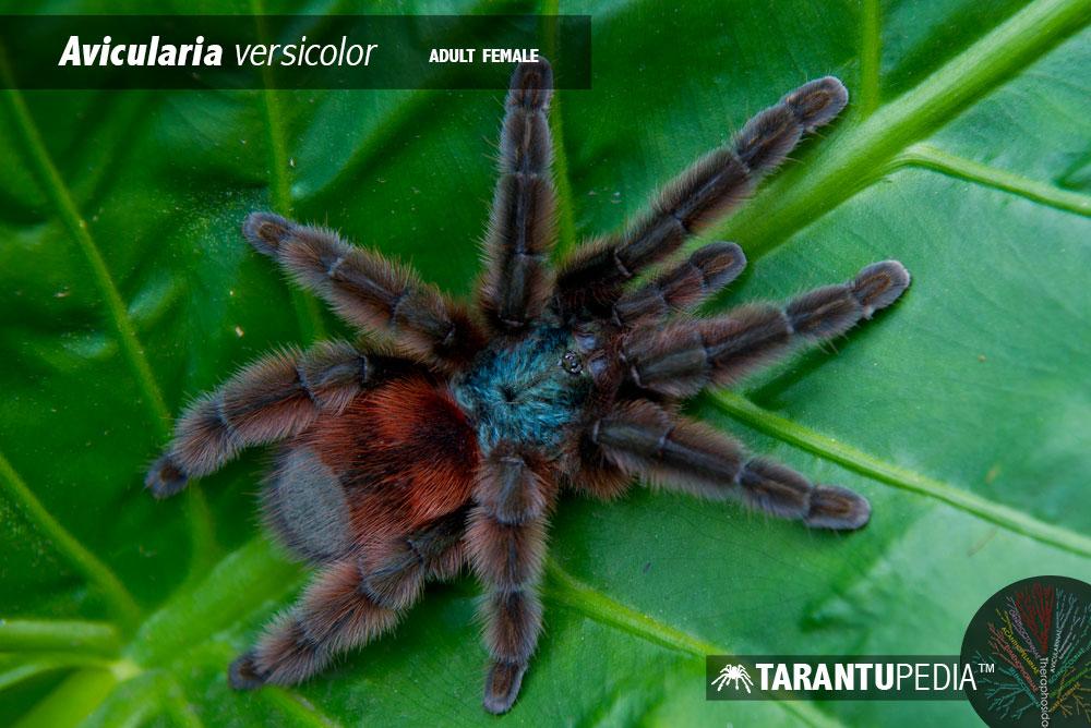 Caribena versicolor ile ilgili görsel sonucu